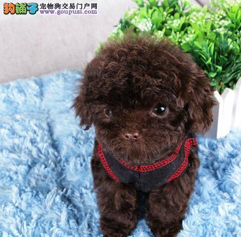 正规犬舍预售韩系济南泰迪犬 颜色多样毛色佳品相好