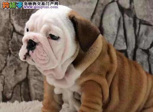 北京售英国斗牛犬 英牛犬幼犬 疫苗驱虫已做可视频看狗