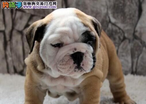 广州精品英牛幼犬 保纯种健康 纯血统英国斗牛犬出售