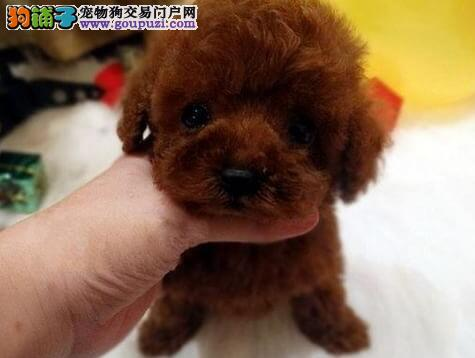 顶级优秀韩系青岛泰迪犬热销中 质量三包可签订协议3