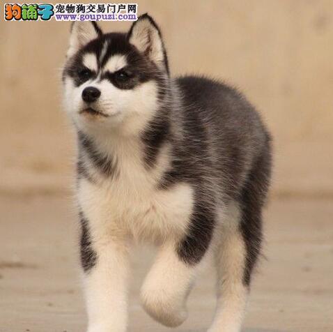 高端哈士奇雪橇犬出售 纯种健康 全国十佳犬舍 签协议