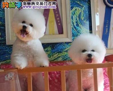 高品质卷毛大连比熊犬低价转让 可刷卡可送狗到家