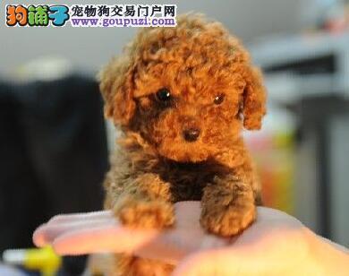 顶级优秀犬舍预售纯种大连贵宾犬 血统纯正有证书