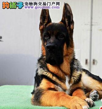 天津黑背德国牧羊犬幼崽出售 弓背,黑背,大骨量