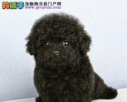 北京韩系精品 超小体泰迪熊多颜色多挑选保纯种包养活