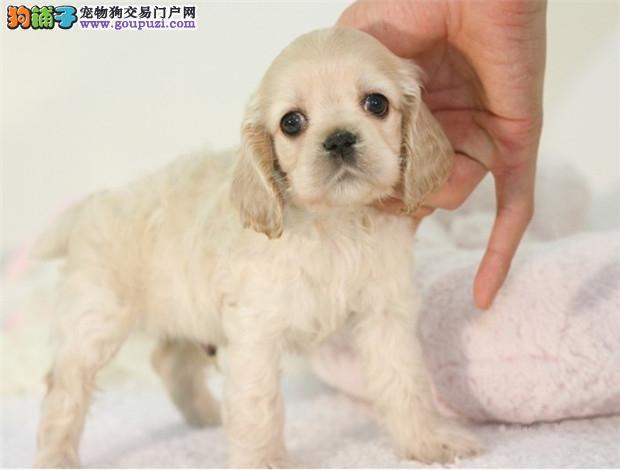 国际注册犬舍 出售极品赛级可卡幼犬送用品送狗粮