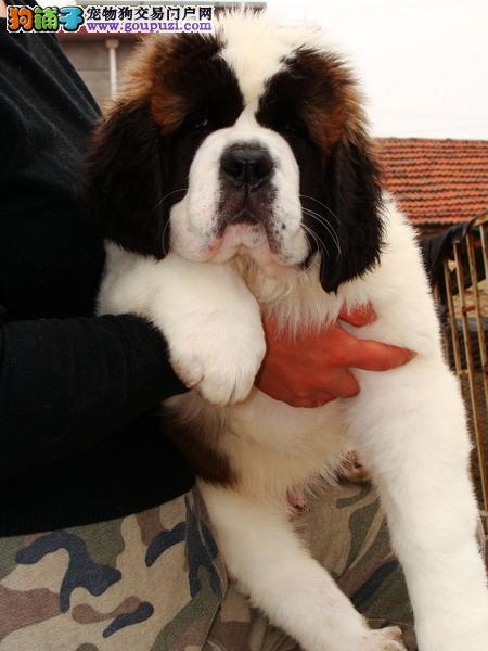 专业的繁殖基地 常年直销高品质圣伯纳犬 包健康