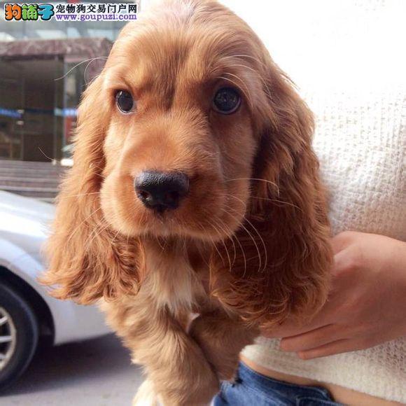 纯种可卡幼犬出售包品质包健康