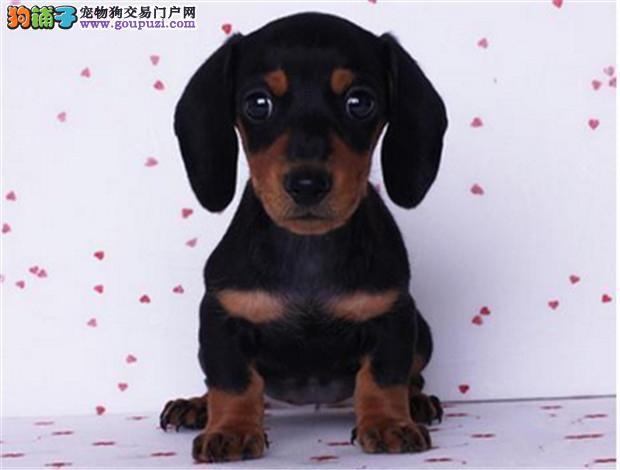 包头纯种健康 腊肠犬 正规狗场可签订协议 健康质保终