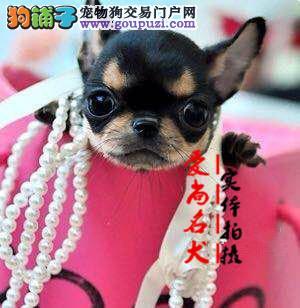 北京最大的茶杯犬基地 完美售后 质量三包 可送货上门