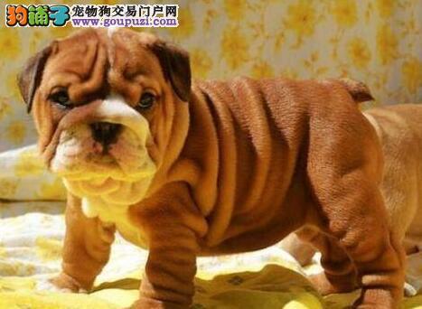 憨憨的兰州斗牛宝宝出售中 可亲自来犬舍挑选爱犬