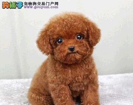 直销价格出售深圳贵宾犬 专业犬舍繁殖可签署协议书