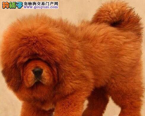 优质藏獒 重庆出售纯种藏獒 当面协定上门选狗