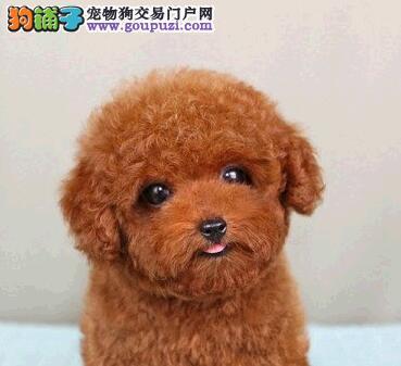 纯种贵宾幼犬 大毛量好脸型 超可爱 长春期待你的到来