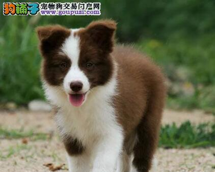 重庆自家繁殖边牧幼犬 三通七白到位 颜色齐可上门挑选