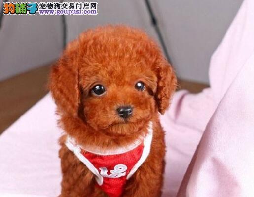 高气质赛级品质的巨型贵宾犬待售中 徐州周边送货上门