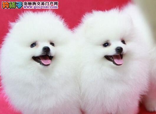 出售聪明伶俐博美犬品相极佳保证品质完美售后