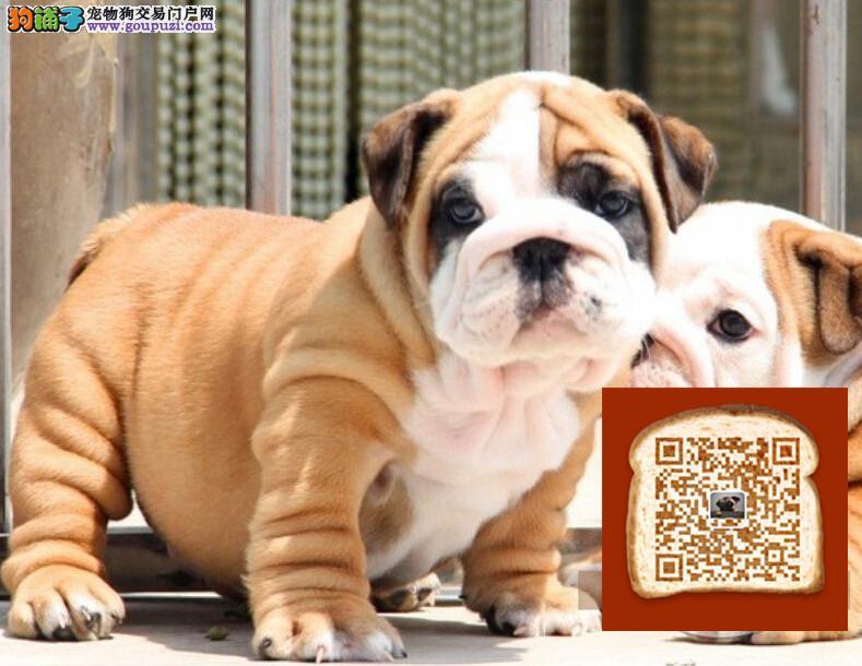 斗牛犬舍出售顶级欧系小体的英国斗牛犬法国斗牛犬