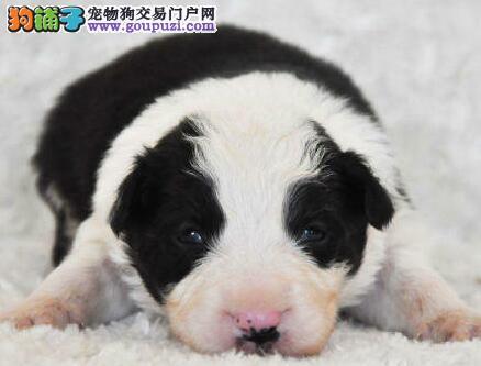直销纯种青岛边境牧羊犬 颜色多样公母都齐全