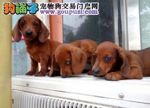 纯种腊肠、腊肠犬保证纯种健康 终身质保、饲养指导