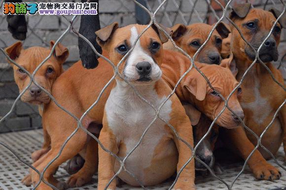 大型专业培育比特犬幼犬包健康微信选狗直接视频