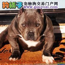 正规犬舍繁殖、诚信交易、纯种恶霸犬、可签协议