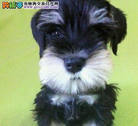 兰州犬舍出售白胡子老头雪纳瑞幼犬 灰色黑色可选3