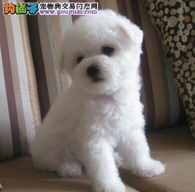 特价出售精品深圳比熊犬品质保证协议购买4