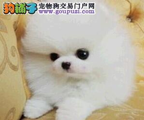 实体店优惠促销深圳博美犬多个品种驱虫已做