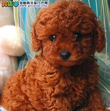 深圳基地直销纯种泰迪犬公母均有可挑选