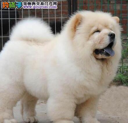 株洲憨厚可爱松狮宝宝出售 高品质肉嘴松狮犬公母均有