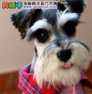 认证犬舍雪纳瑞 包养活 签协议 包售后图片