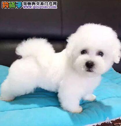 特价出售精品深圳比熊犬品质保证协议购买3
