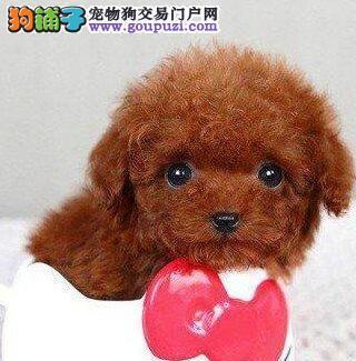 杭州哪里有卖红贵宾 杭州哪里出售贵宾犬 贵宾价格
