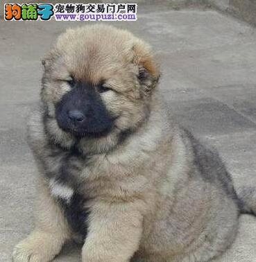 高大威猛的杭州高加索犬找新家 选择专业选择放心