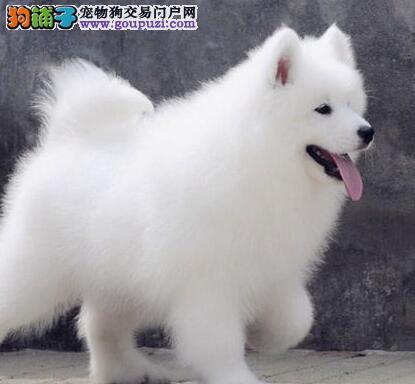 赛级品相萨摩耶幼犬便宜出售哪里有卖担保品质完美售后