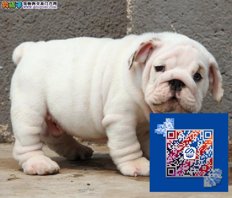 高品质英国斗牛犬给您最贴心的售后