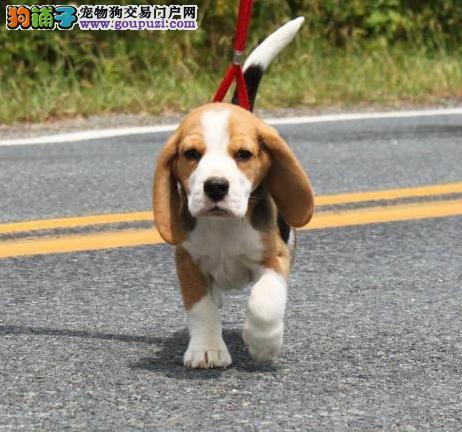 品质健康有保障比格犬热卖中微信看狗真实照片包纯