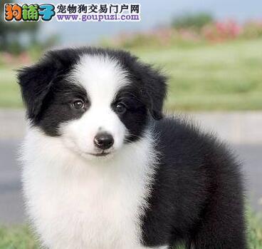 上海售边牧 边境牧羊犬幼犬公母全有可挑选