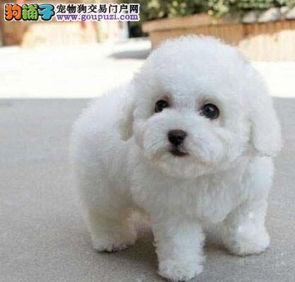 杭州售小比熊棉花糖白色粉扑幼犬公母全有欢迎选购