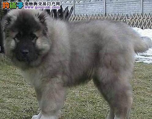 厦门大型狗场直销高品质高加索犬可办理血统证书2