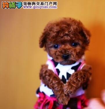 厦门专业养殖场出售好品质泰迪犬公母都有包养活