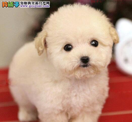 热销多只优秀的纯种贵宾犬幼犬可直接视频挑选