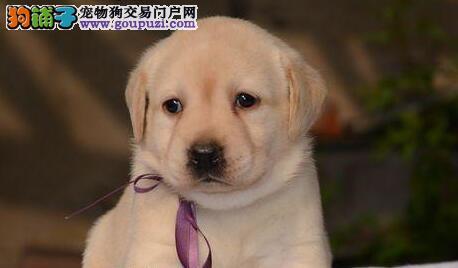 北京出售神犬小七同血统高品质拉布拉多顶级拉拉犬