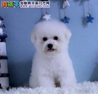 南京纯种卷毛比熊幼犬 保健康包养活签协议送用品