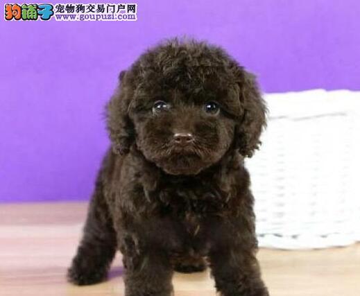周口大型狗场出售赛级韩系小体玩具泰迪犬幼犬血统纯正