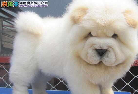 爆毛量的珠海松狮犬求好心人上门选购 非诚勿扰
