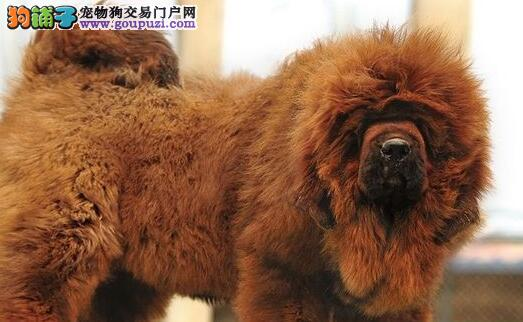 武汉大型獒园出品高品质 尊贵藏獒 颜色可选