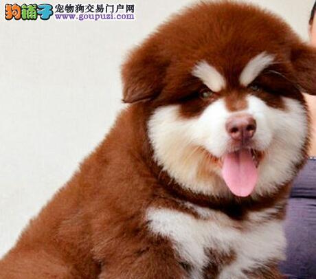 珠海实体狗场直销十字脸阿拉斯加犬 请您放心选购