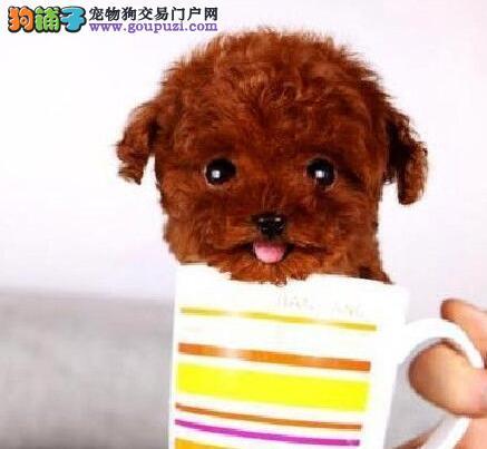 自家繁殖泰迪犬出售公母都有诚信经营三包终身协议